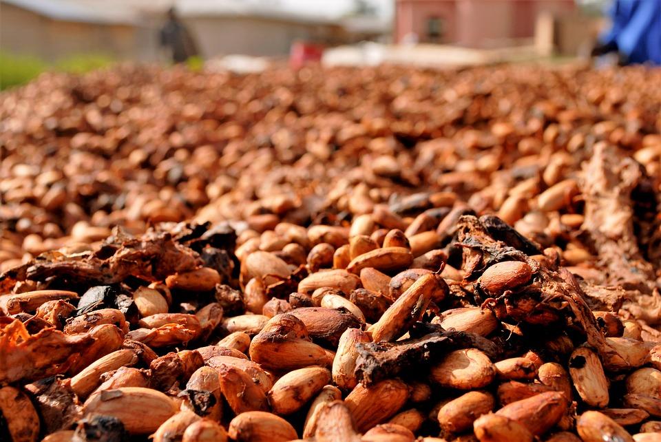Ziarna kakaowca – alternatywa dla czekolady
